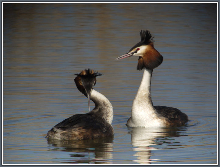 Great Crested Grebe in Love 3/4