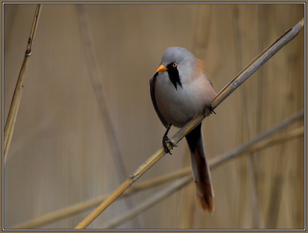 Bearded Tit 2/2