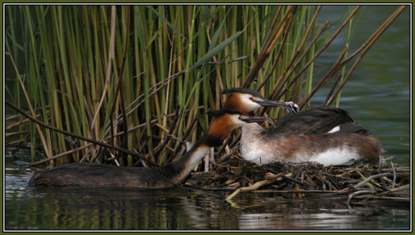 Great Crested Grebe  - Family