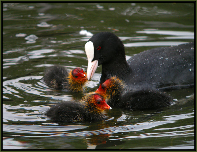 Coot and fledgling