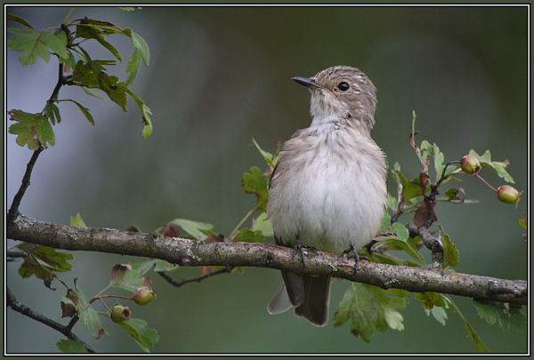 Spotted Flycatcher 1/2