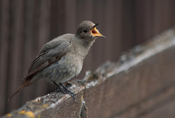 Black Redstart - Female