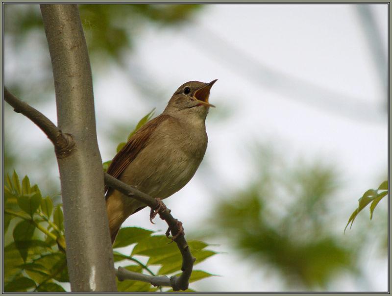Nightingale 2/2