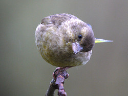 Greenfinch - Male         ( Carduelis chloris)
