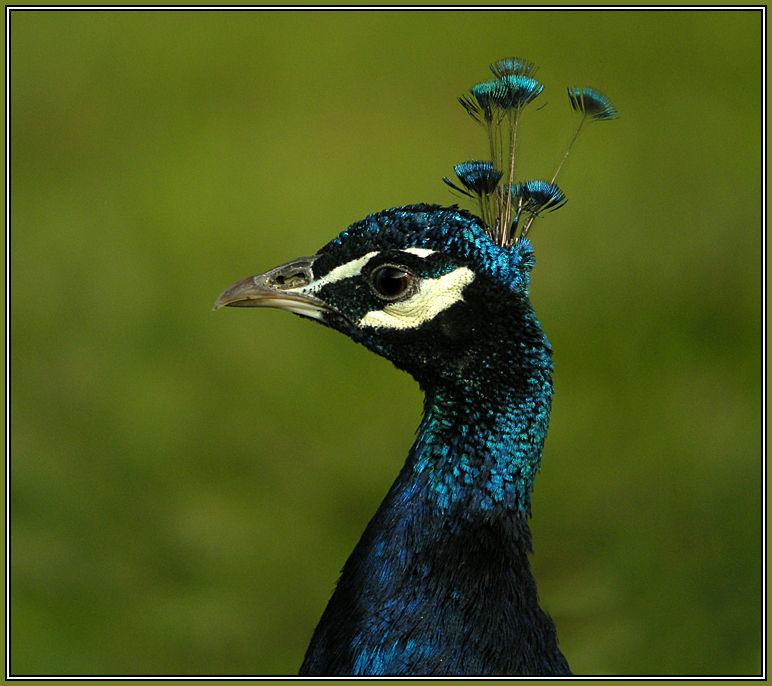 Indian Blue Peafowl (Pavo cristatus)