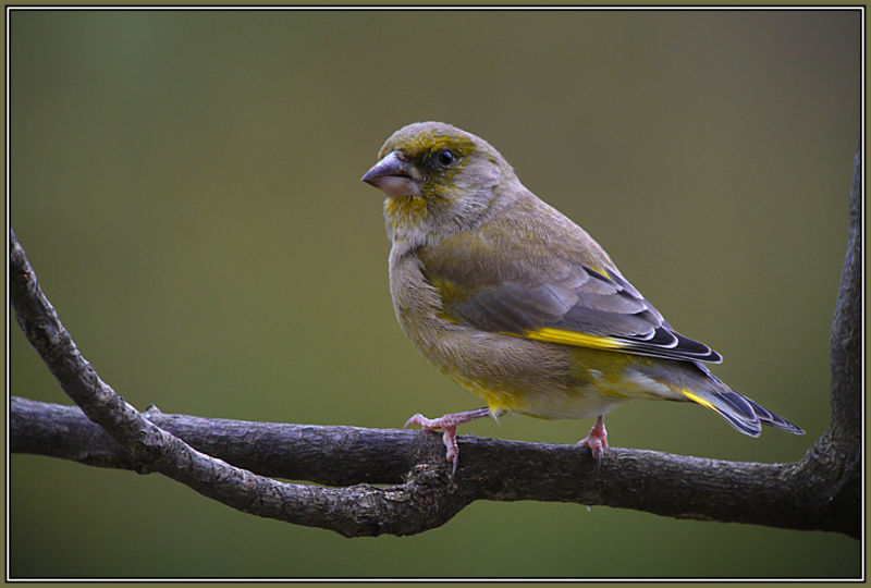 Greenfinch - Male  1/2        Carduelis chloris