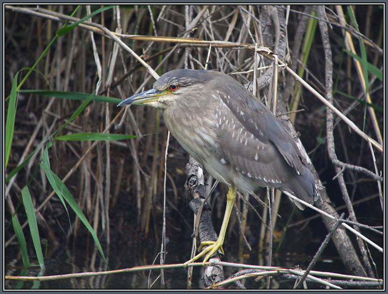 Black-crowned Night Heron  1/3