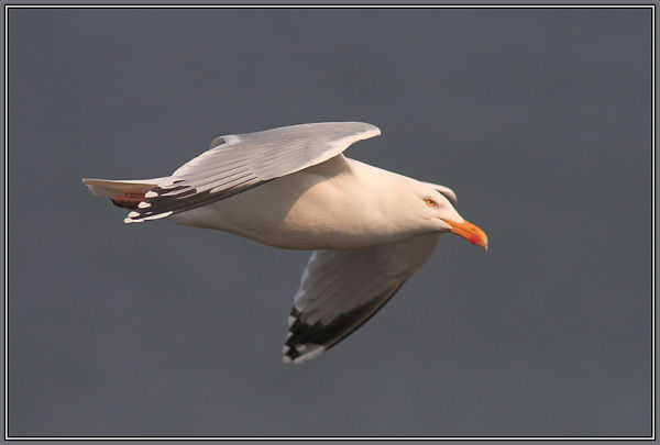Yellow-legged gull   (Larus cachinnans)