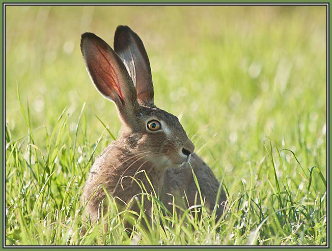 European Hare  2