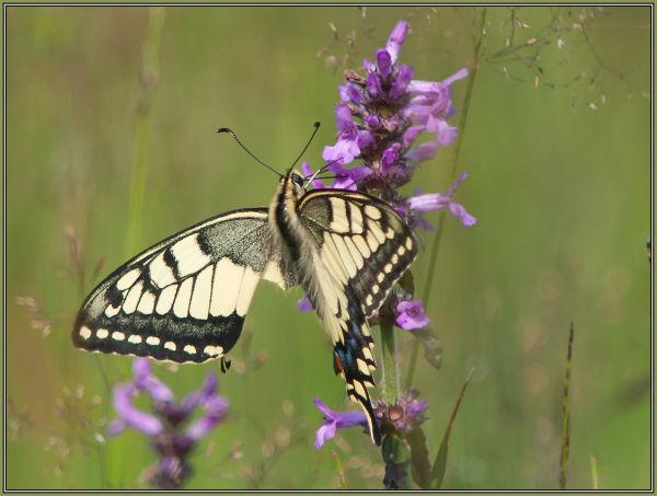 Schwalbenschwanz 2 (Papilio machaon)