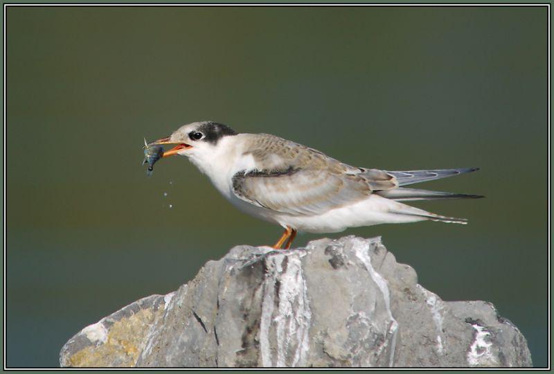 Common Tern   (Sterna hirundo)  3/3