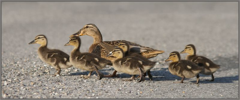 Mallard's mummy with her children