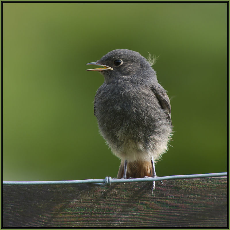 Black Redstart - juvenil      Phoenicurus ochruros