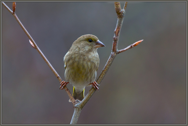 Greenfinch - Female          Carduelis chloris