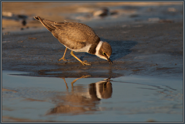 Little Ringed Plover    (Charidrius dubius)