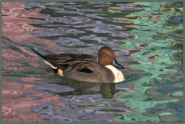 Northern Pintail - Male  3