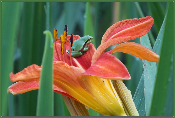 Tree frog on Orange Lily
