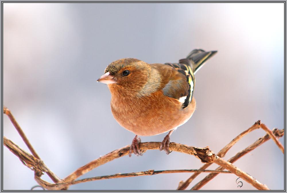 Chaffinch    (Fringilla coelebs) male