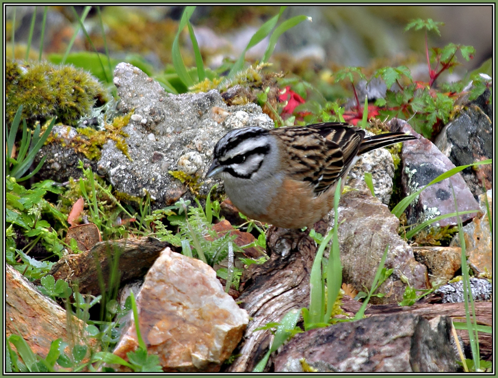 Rock Bunting Male    (Emberiza cia)