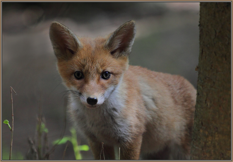 A young Red fox   1/5  (Vulpes vulpes)
