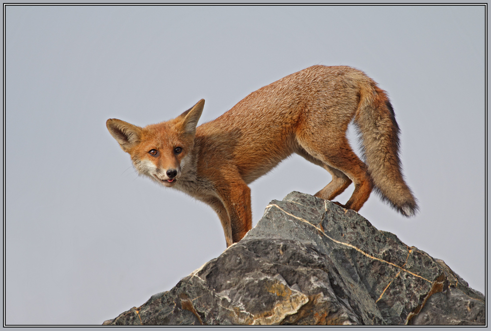 . . . the next red fox series   7/7