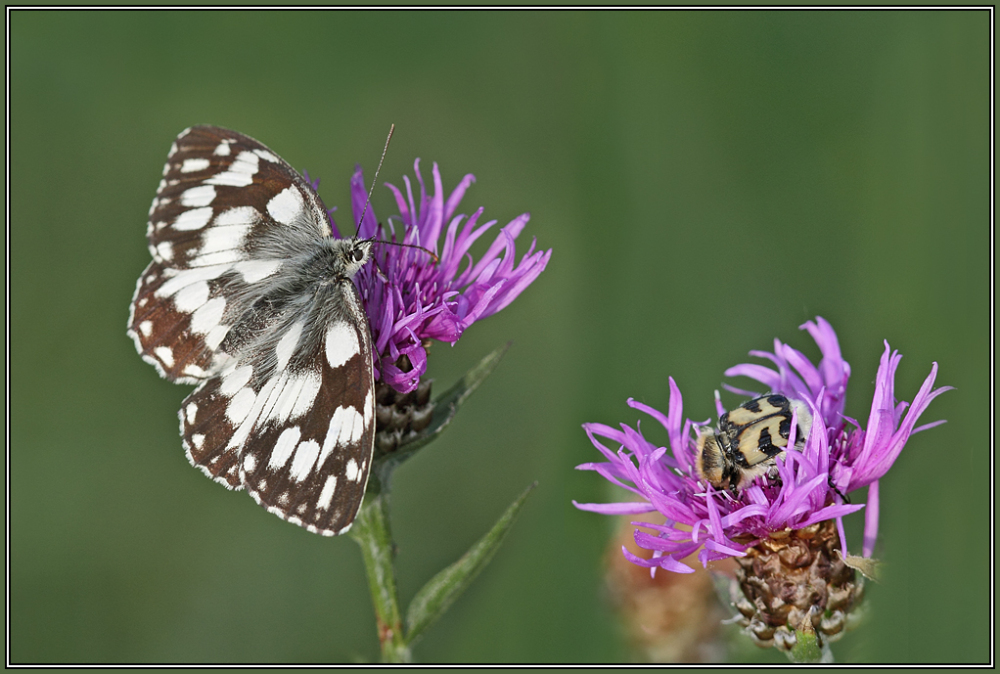 Marbled White  and  Bee beetle