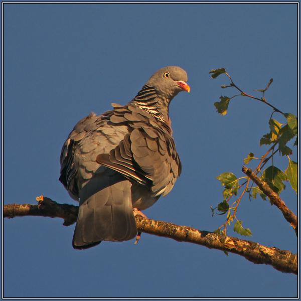 Woodpigeon   ( Columba palumbus )