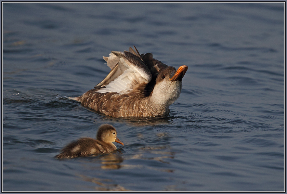 Mother with her child   (Red-crested Pochard)