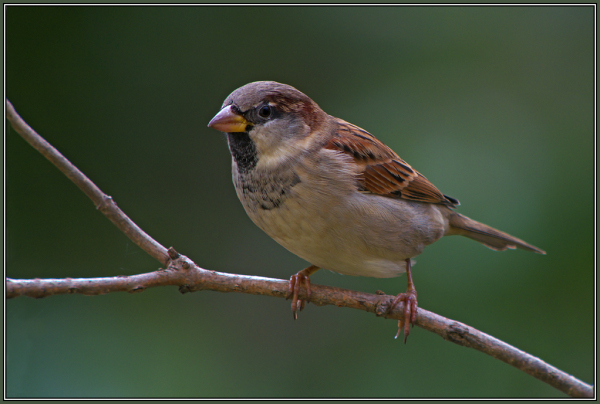 House Sparrow (Passer domesticus) 2/3