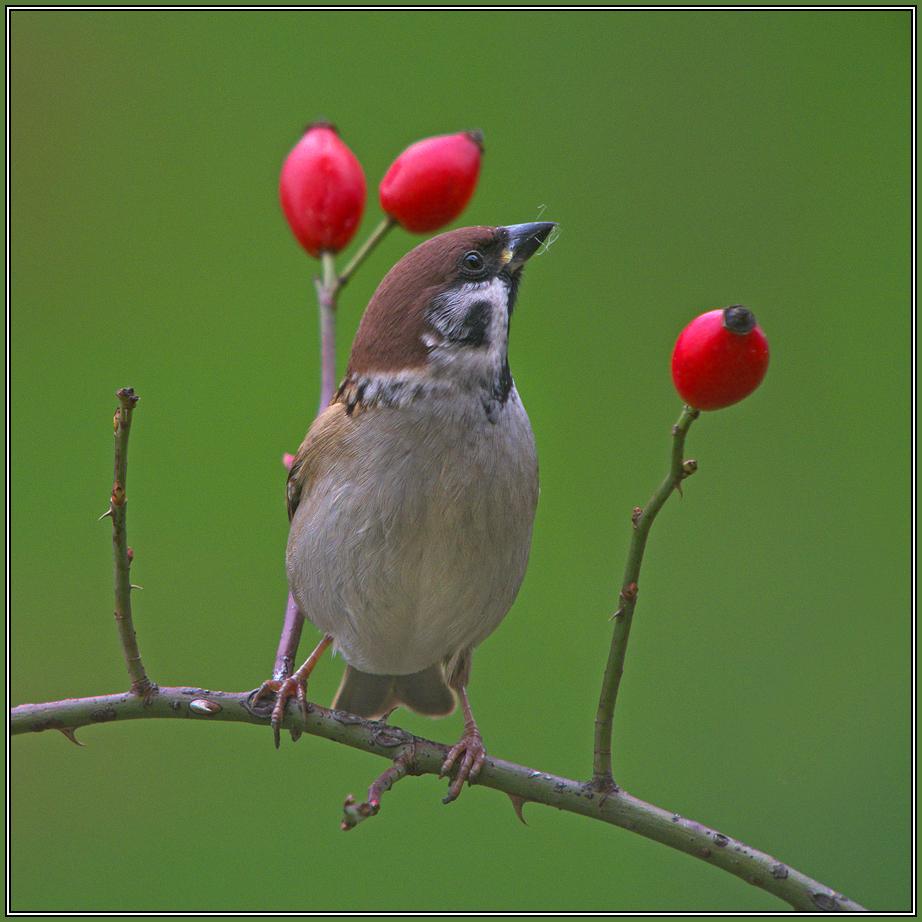 Tree Sparrow     (Passer montanus) 1/2