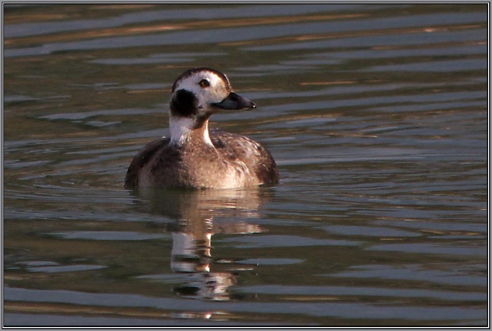 Long-tailed Duck - Female  (Clangula hyemalis)
