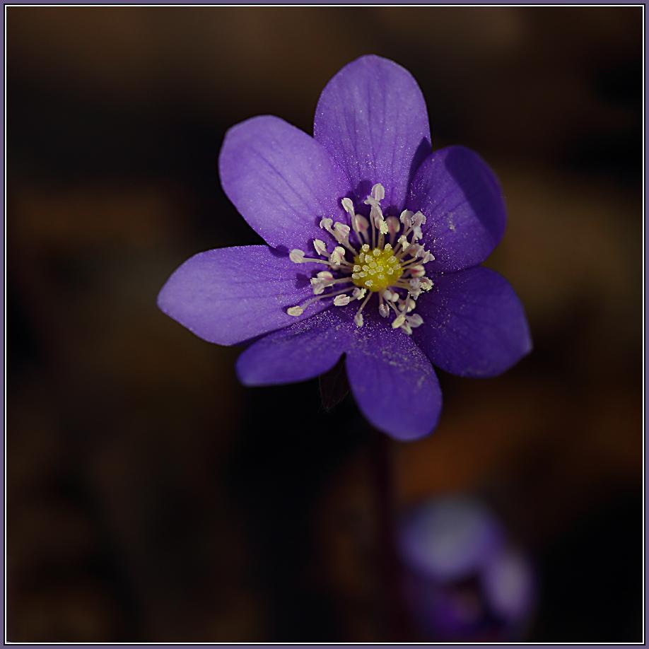 Hepatica nobilis  2/2