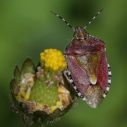 Beerenwanze     ( Dolycoris baccarum )