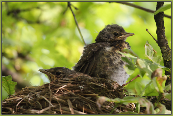 Fieldfare - Babies  (Turdus pilaris)