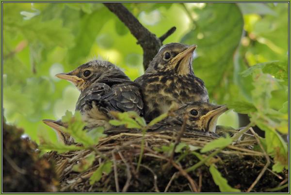 Four Fieldfare - Babies  2/2 (Turdus pilaris)