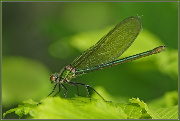 Banded Demoiselle - Female (Calopteryx splendens)