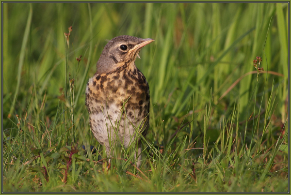 young Fieldfare      (Turdus pilaris )