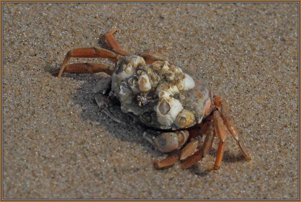 Krabbe mit Seepocken