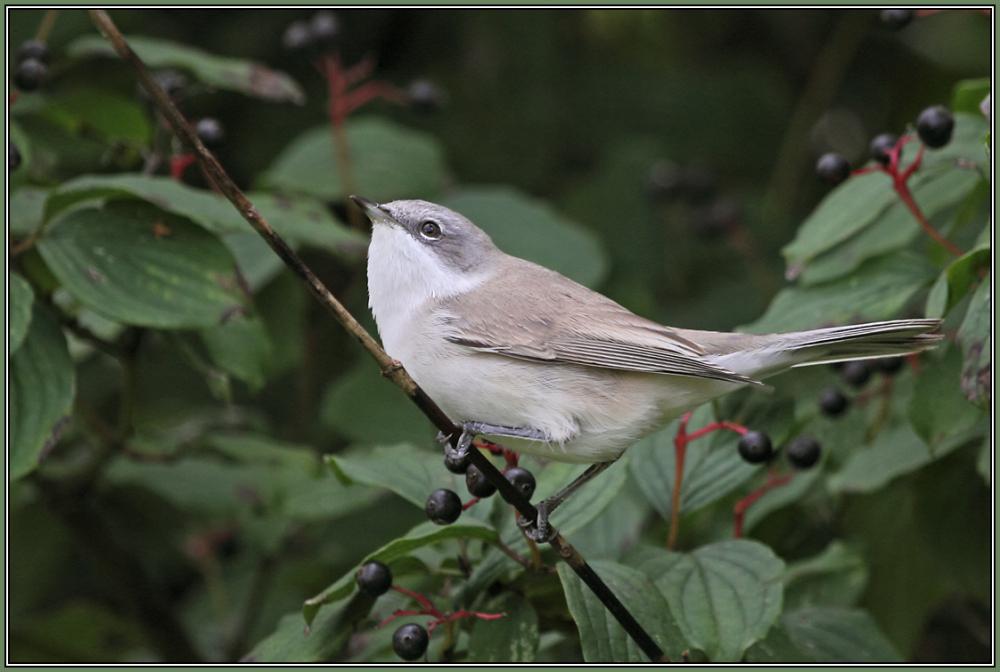 Lesser Whitethroat   1/3   Sylvia curruca