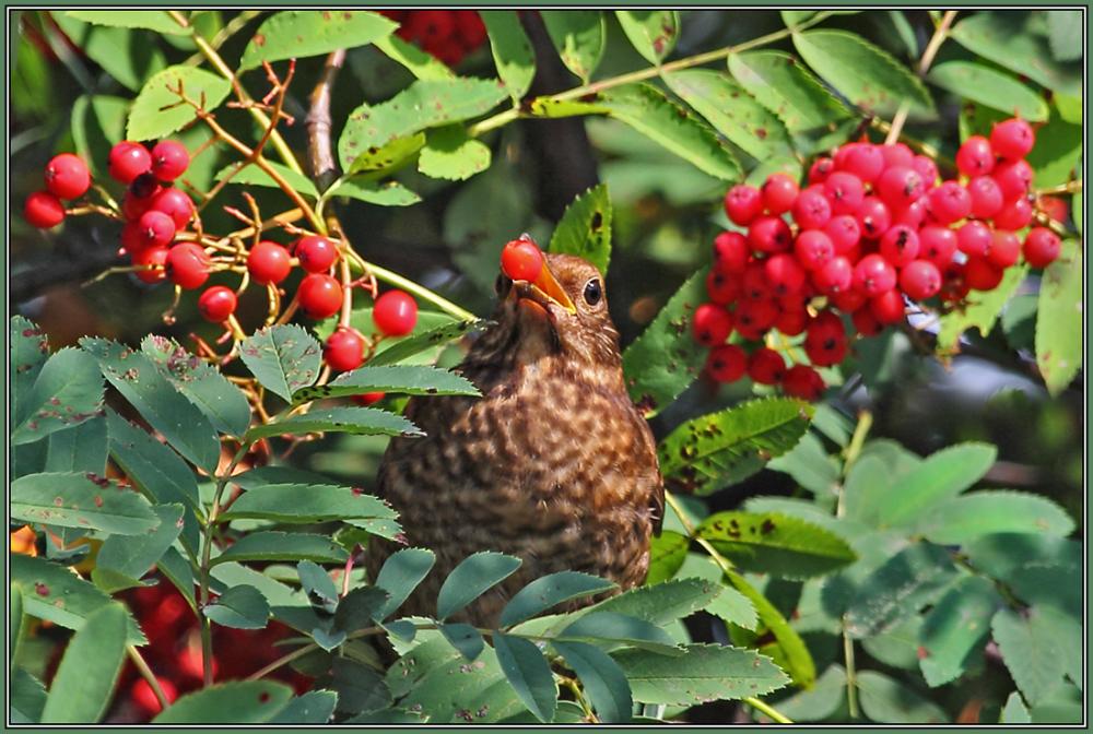 Blackbird   (juvenil)