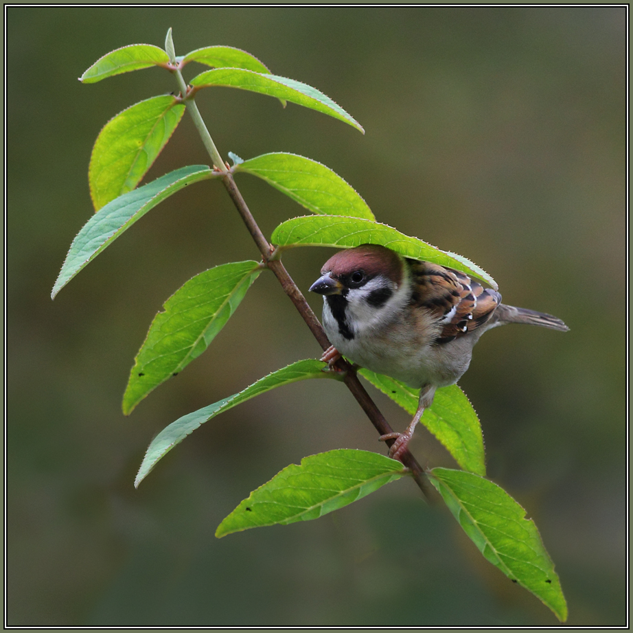 Tree Sparrow  1/2  (Passer montanus)