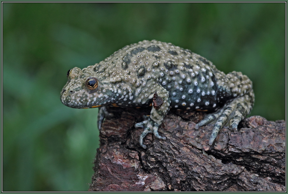 European fire-bellied toad   (Bombina bombina)
