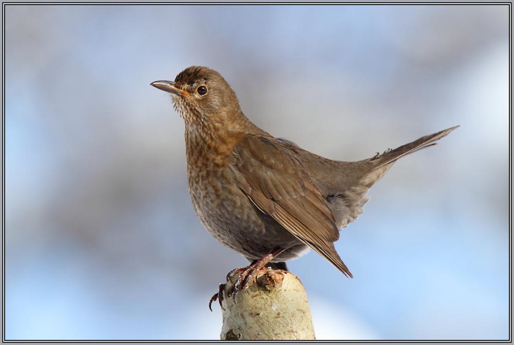 Blackbird  - Female