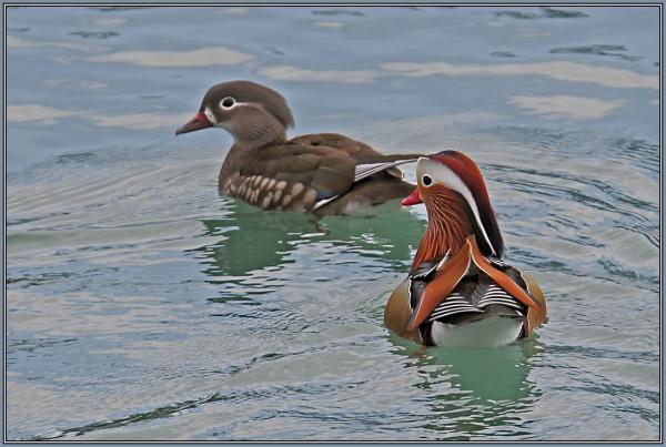 Mandarin Ducks  - Female & Male (Aix galericulata)