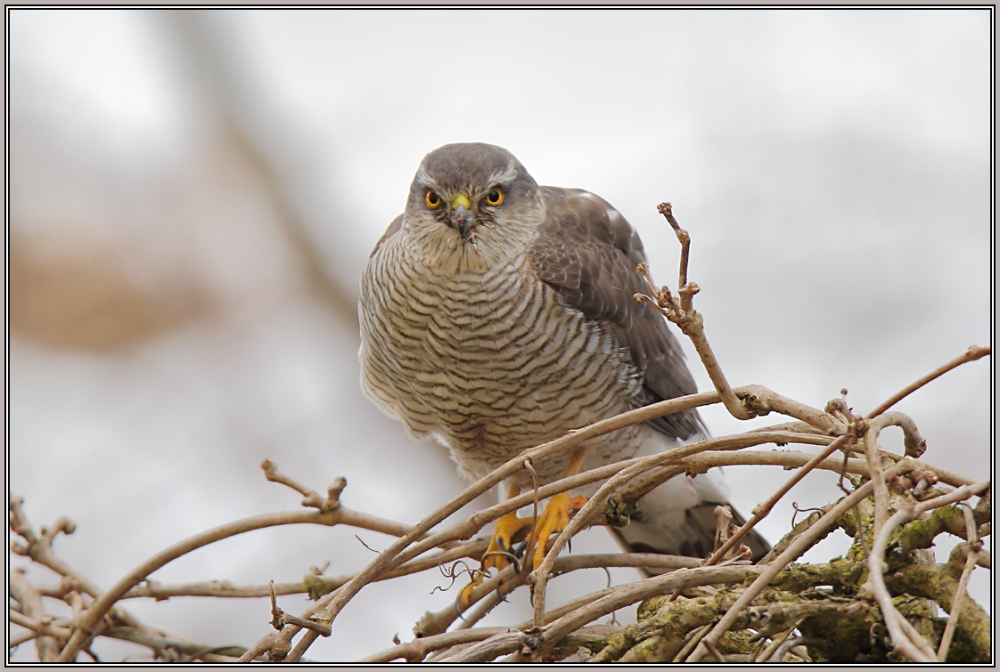 Sparrowhawk - Female  1/2  (Accipiter nisus)