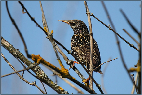 Common starling  1/2  (Sturnus vulgaris)