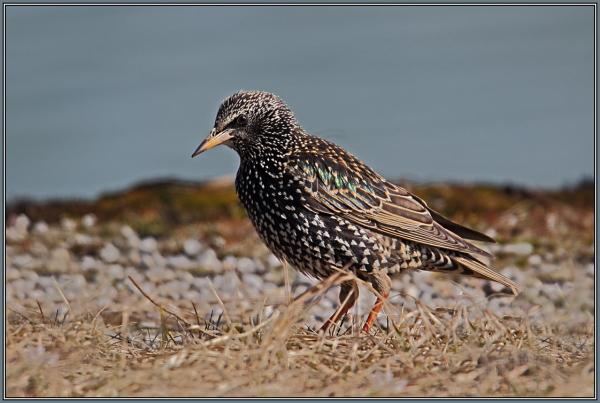 Common starling  2/2  (Sturnus vulgaris)