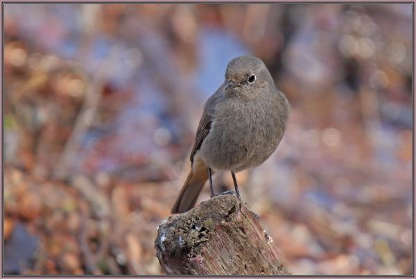 Black Redstart - Female  (Phoenicurus ochruros)