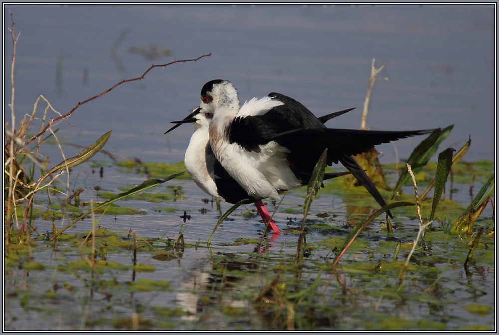Black-winged stilt (Himantopus himantopus) 1/3