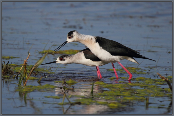 Black-winged stilt (Himantopus himantopus) 2/3